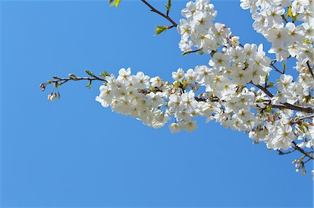 Cherry blossoms, Saitama Prefecture Stock Photo - Premium Royalty-Free, Code: 622-06809264