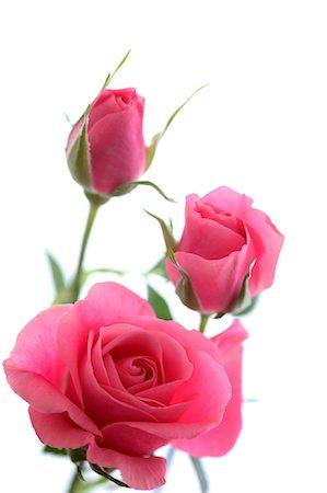 rose - Pink roses Stock Photo - Premium Royalty-Free, Code: 622-06809376