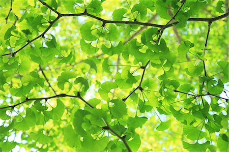 foliage - Green Ginkgo leaves Stock Photo - Premium Royalty-Free, Code: 622-06809665