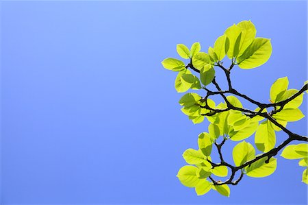 Green leaves and blue sky Stock Photo - Premium Royalty-Free, Code: 622-06809666