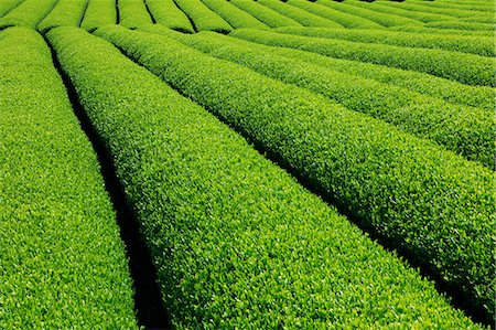 sprout - Tea plantation Stock Photo - Premium Royalty-Free, Code: 622-06809679