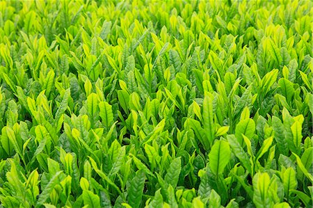 Tea leaves Stock Photo - Premium Royalty-Free, Code: 622-06809683