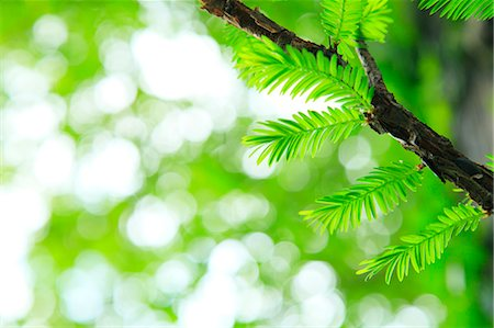 Sequoia leaves Stock Photo - Premium Royalty-Free, Code: 622-06809708