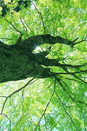 Maple tree Stock Photo - Premium Royalty-Free, Code: 622-06809711