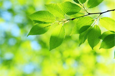 Green leaves Stock Photo - Premium Royalty-Free, Code: 622-06809712