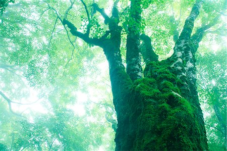 fantastically - Large maple tree in the fog Stock Photo - Premium Royalty-Free, Code: 622-06809734