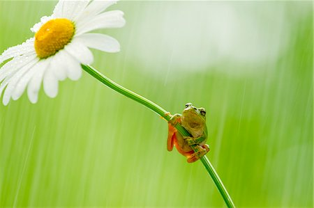 Frog on a Margaret Stock Photo - Premium Royalty-Free, Code: 622-06842048