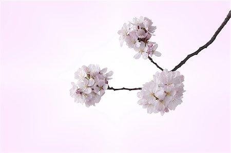 Cherry blossoms Stock Photo - Premium Royalty-Free, Code: 622-06842077