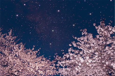 flowers - Stars and cherry blossoms Stock Photo - Premium Royalty-Free, Code: 622-06842081