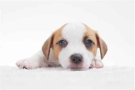 pet - Jack Russell Terrier Stock Photo - Premium Royalty-Free, Code: 622-06842104