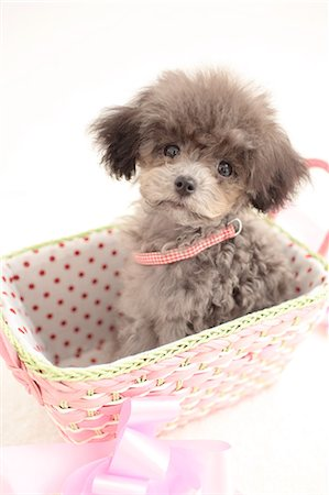 Toy poodle Stock Photo - Premium Royalty-Free, Code: 622-06842112