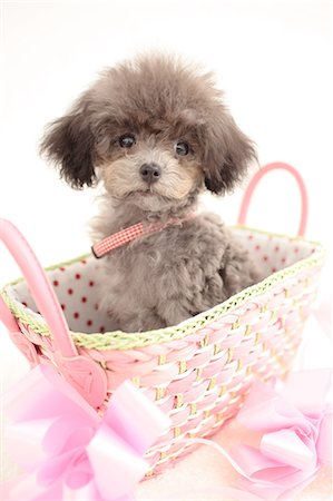 Toy poodle Stock Photo - Premium Royalty-Free, Code: 622-06842113