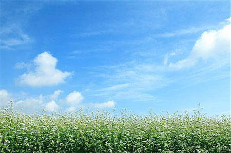 Buckwheat flowers and sky Stock Photo - Premium Royalty-Free, Code: 622-06842559