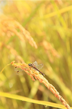 Rice ear and dragonfly Stock Photo - Premium Royalty-Free, Code: 622-06842572