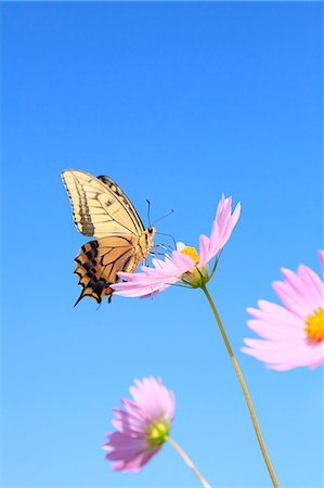 Cosmos and swallowtail butterfly Stock Photo - Premium Royalty-Free, Code: 622-06842580