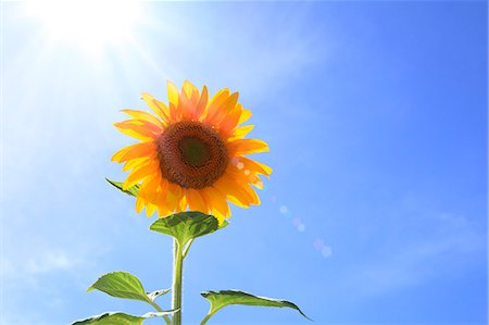 shower - Sunflower and sky Stock Photo - Premium Royalty-Free, Code: 622-06842628