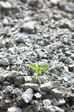 sprout - Green leaf sprouting from gravel Stock Photo - Premium Royalty-Free, Code: 622-06842622