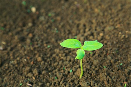 Green leaf sprouting from the ground Stock Photo - Premium Royalty-Free, Code: 622-06842643