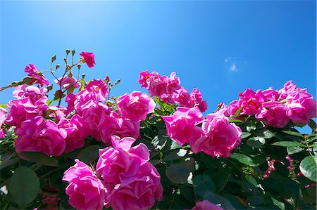 rose - Pink roses and blue sky Stock Photo - Premium Royalty-Free, Code: 622-06900189