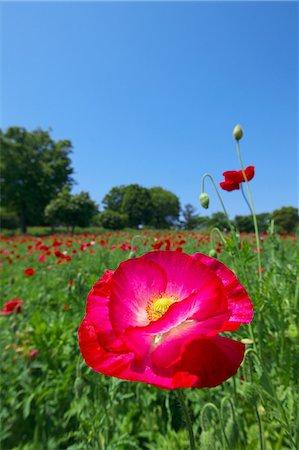 scenic and spring (season) - Poppy flowers Stock Photo - Premium Royalty-Free, Code: 622-06900207