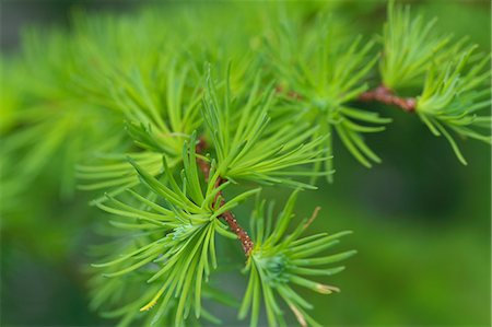 sprout - Larch leaves Stock Photo - Premium Royalty-Free, Code: 622-06900245