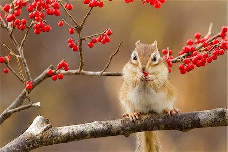 Chipmunk eating red berries Stock Photo - Premium Royalty-Free, Code: 622-06900267