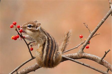 Chipmunk eating red berries Stock Photo - Premium Royalty-Free, Code: 622-06900269