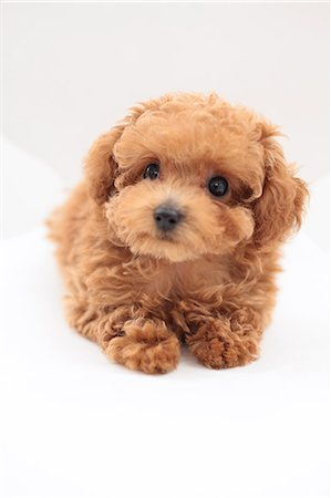 fluffy - Toy Poodle Stock Photo - Premium Royalty-Free, Code: 622-06900406
