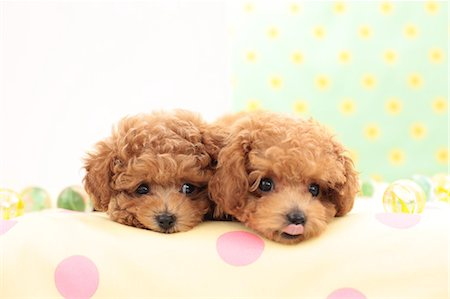 Toy Poodle pets Stock Photo - Premium Royalty-Free, Code: 622-06900422