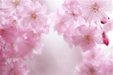 Cherry blossoms Stock Photo - Premium Royalty-Free, Code: 622-06900489