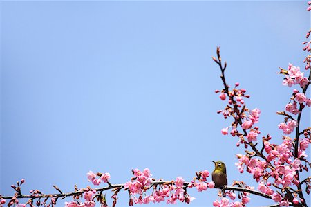 Japanese White Eye and cherry blossoms Stock Photo - Premium Royalty-Free, Code: 622-06900498