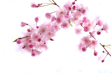 Cherry blossoms Stock Photo - Premium Royalty-Free, Code: 622-06900490