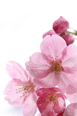 stamen - Cherry blossoms Stock Photo - Premium Royalty-Free, Code: 622-06900491