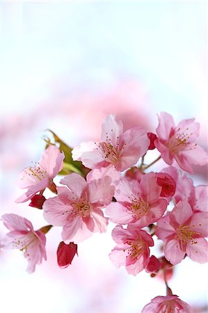 Cherry blossoms Stock Photo - Premium Royalty-Free, Code: 622-06900500