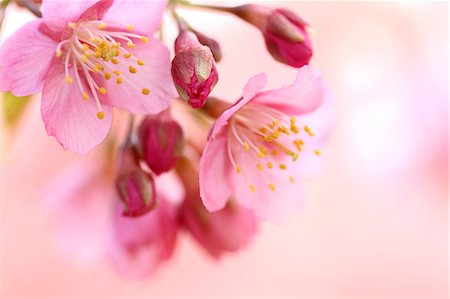 Cherry blossoms Stock Photo - Premium Royalty-Free, Code: 622-06900501
