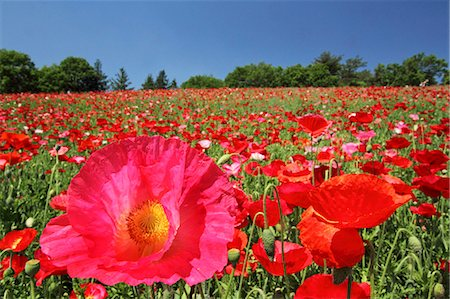 Poppy flowers Stock Photo - Premium Royalty-Free, Code: 622-06900536