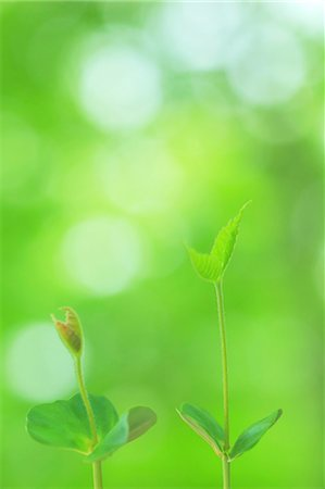 sprout - Green leaves Stock Photo - Premium Royalty-Free, Code: 622-06900574