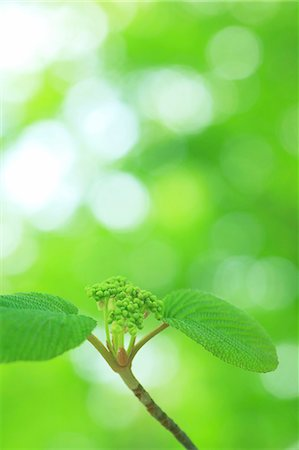 sprout - Green leaves Stock Photo - Premium Royalty-Free, Code: 622-06900592