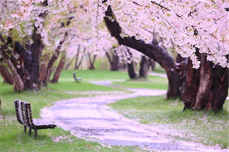 spring flowers - Cherry blossoms and bench Stock Photo - Premium Royalty-Free, Code: 622-06900618