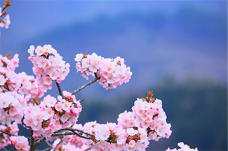 spring flowers - Cherry blossoms Stock Photo - Premium Royalty-Free, Code: 622-06900628