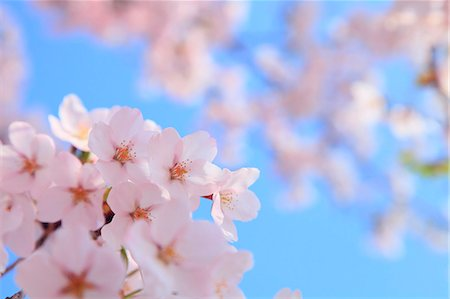 spring flowers - Cherry blossoms Stock Photo - Premium Royalty-Free, Code: 622-06900638