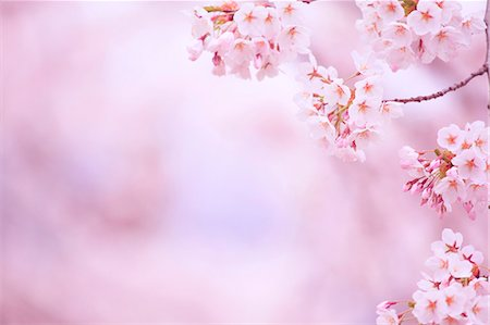 spring flowers - Cherry blossoms Stock Photo - Premium Royalty-Free, Code: 622-06900641
