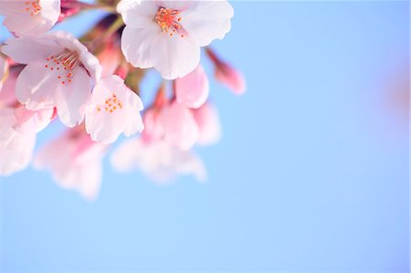 scenic and spring (season) - Cherry blossoms and sky Stock Photo - Premium Royalty-Free, Code: 622-06900643