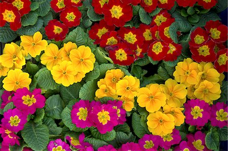 Primula flowers Stock Photo - Premium Royalty-Free, Code: 622-06900664
