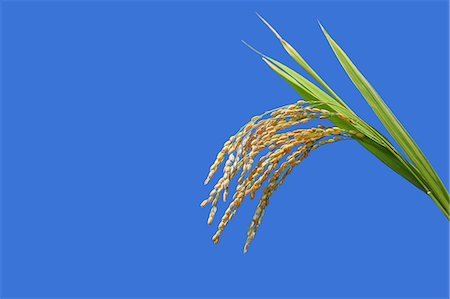 Rice ears and blue sky Stock Photo - Premium Royalty-Free, Code: 622-06964445