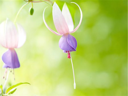 Fuchsia flowers Stock Photo - Premium Royalty-Free, Code: 622-07108559