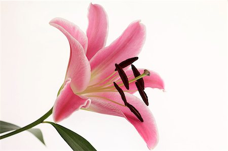 Lily flower Stock Photo - Premium Royalty-Free, Code: 622-07108586