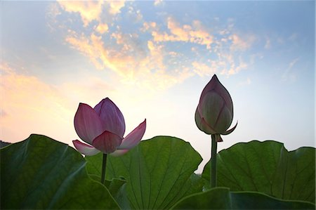 Lotus flowers Stock Photo - Premium Royalty-Free, Code: 622-07108662