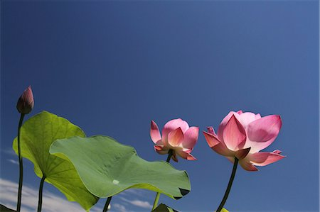 Lotus flowers and sky Stock Photo - Premium Royalty-Free, Code: 622-07108692