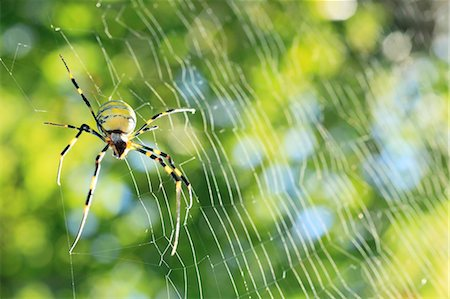 Spider and web Stock Photo - Premium Royalty-Free, Code: 622-07108822